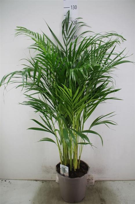 <h4>Chrysalidocarpus Areca</h4>