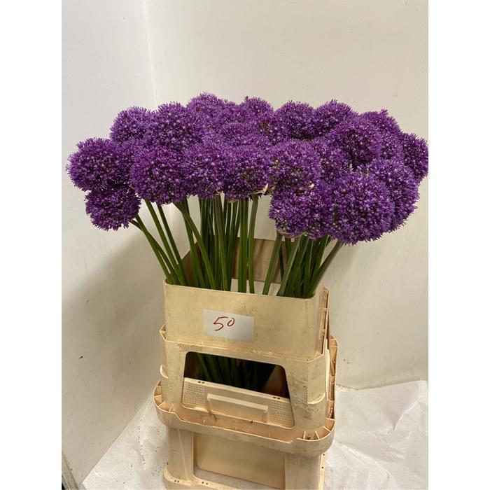 <h4>Allium Ambassador</h4>