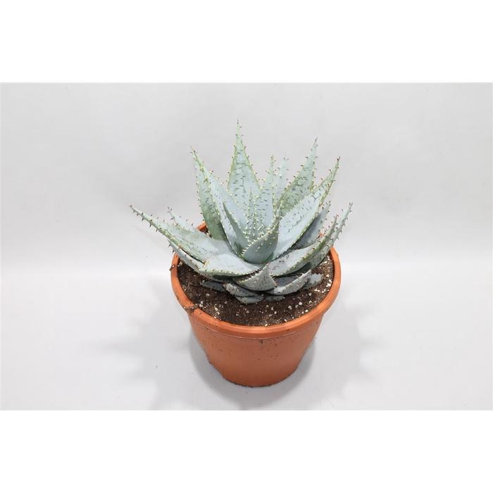 <h4>Aloe Peglerae</h4>