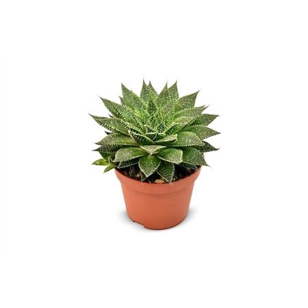 <h4>Aloe Tabo</h4>