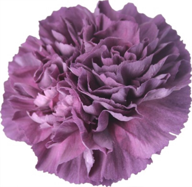 <h4>Dianthus st. Extasis</h4>
