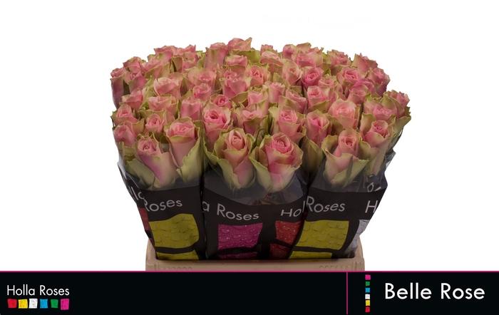 <h4>Rosa grootbloemig Belle Rose</h4>
