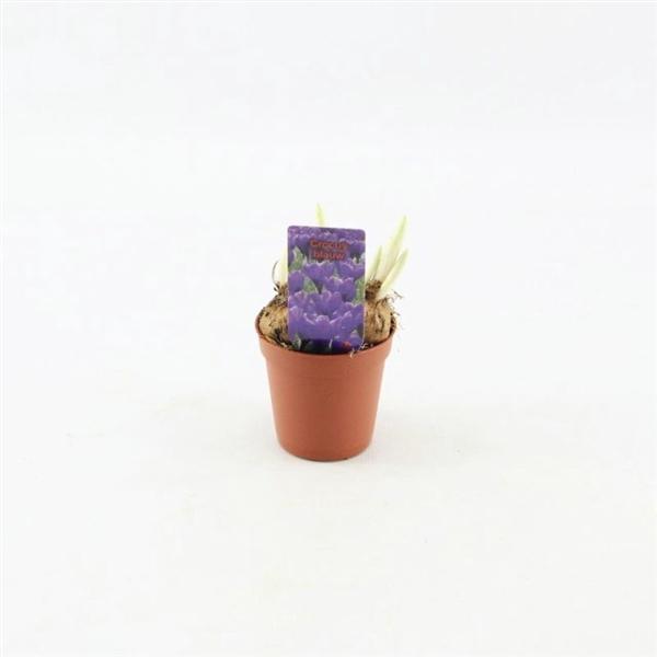 <h4>Crocus vernus Flower Record</h4>