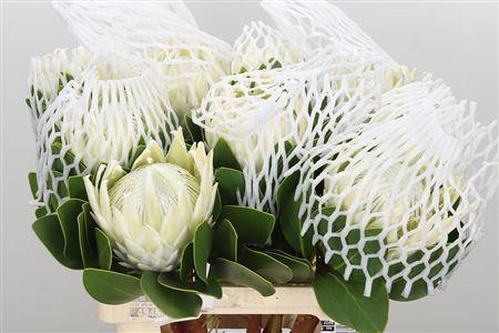 <h4>Protea Cynaroides Arctic Ice</h4>