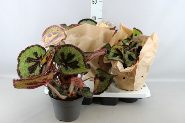<h4>Begonia BD masoniana</h4>