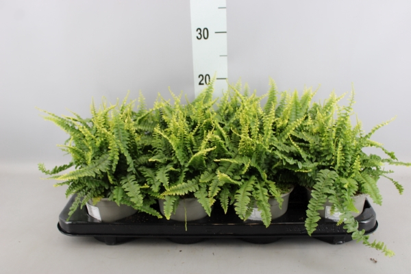 <h4>Nephrolepis exal. 'Green Lady'</h4>