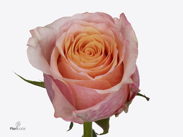 Rosa large flowered Jabulani