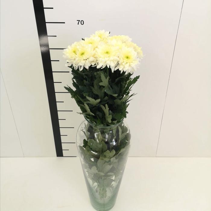 <h4>Chrysanthemum monoflor euro blanca</h4>