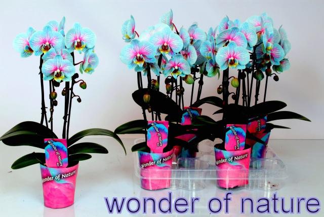<h4>Phalaenopsis wonder nature casc 2 br.</h4>