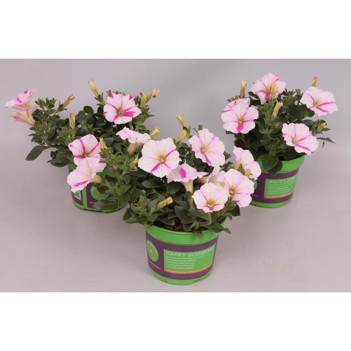 <h4>Petunia Ordy Icecream</h4>