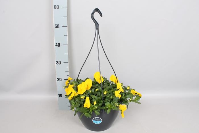 Hangpotten 27 waterreservoir Viola Coolwave Yellow