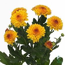 Chrysanthemum monoflor lollipop amarilla
