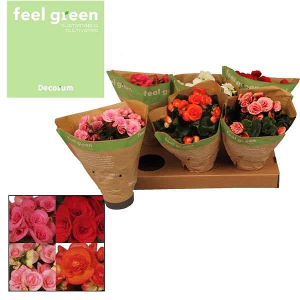 <h4>Begonia gemengd feel green</h4>