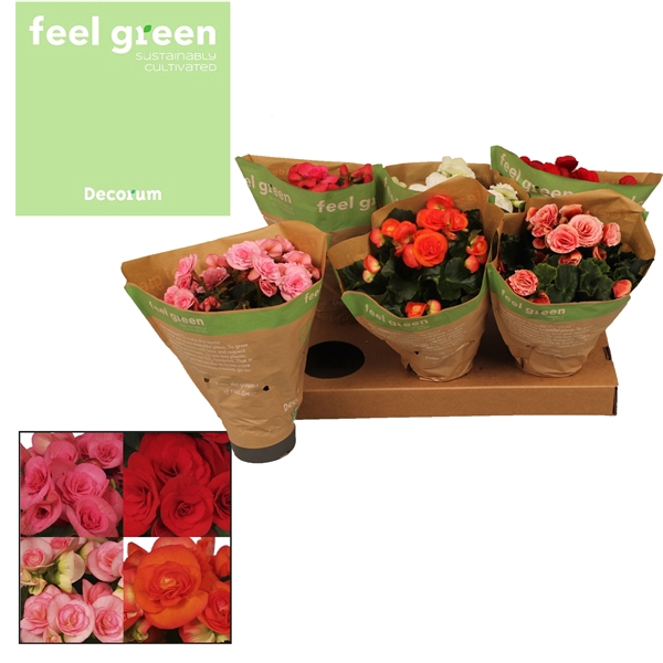 <h4>Begonia gemengd Feel Green  Decorum</h4>