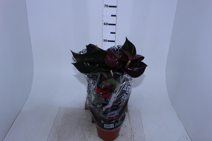 <h4>ANTHURIUM GIANT CHOCOLATE P19 CHOCOLATE</h4>