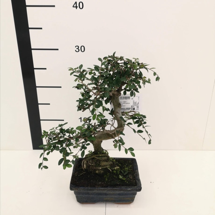 <h4>Bonsai Zelkova parvifolia 6 años</h4>