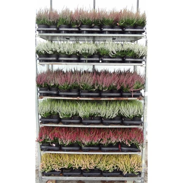 <h4>Calluna vulgaris Garden Girls in soorten (minimum order one layer)</h4>