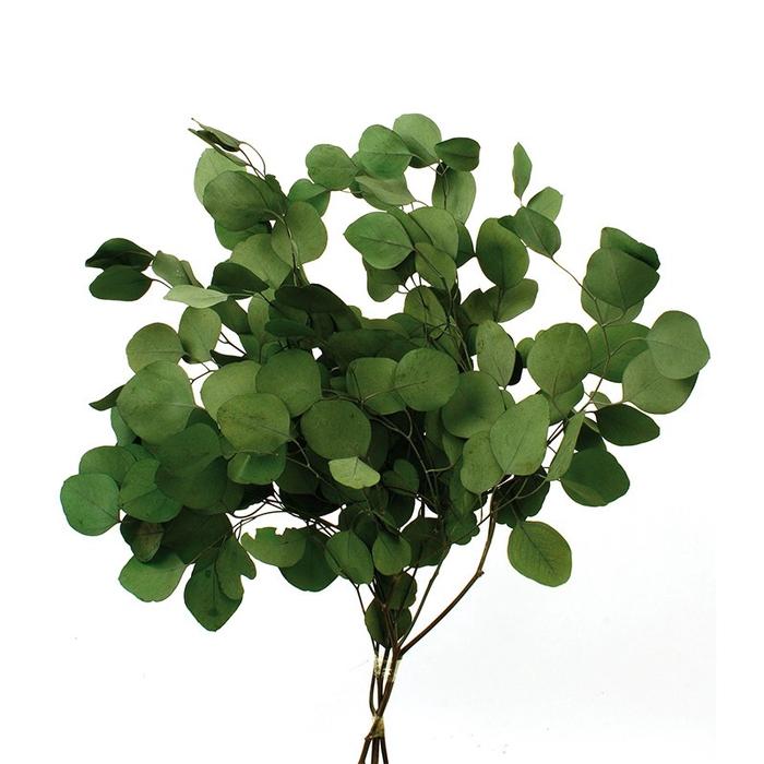 <h4>Eucalipto populus espiral verde preservado</h4>