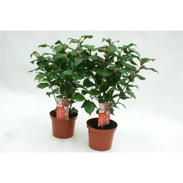 <h4>Camellia Dr King 25+ knoppen</h4>