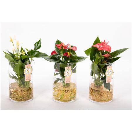 <h4>Anth St Gemengd Glas Aqua Roots</h4>
