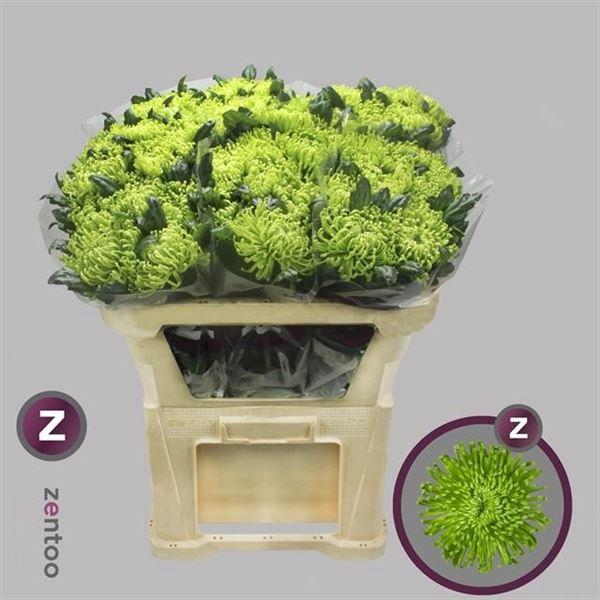 <h4>Chrysanthemum PL 'Anast Dk Green'</h4>