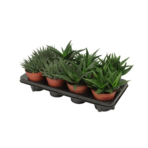 <h4>Aloe-haworthia mix</h4>