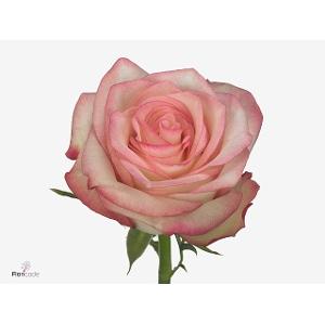 <h4>Rosa gr Paloma (Nevado)</h4>