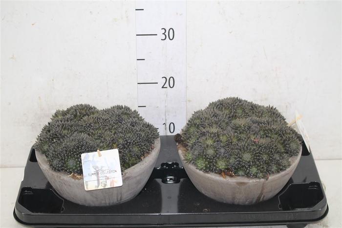 <h4>Sinocrassula Yunnane Schaal</h4>