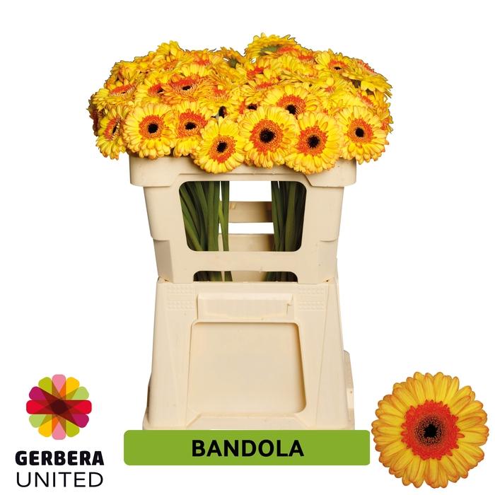<h4>GE MI Bandola</h4>