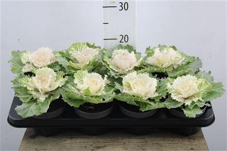 <h4>Brassica White</h4>