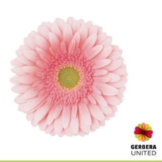 <h4>Gerbera Romella</h4>