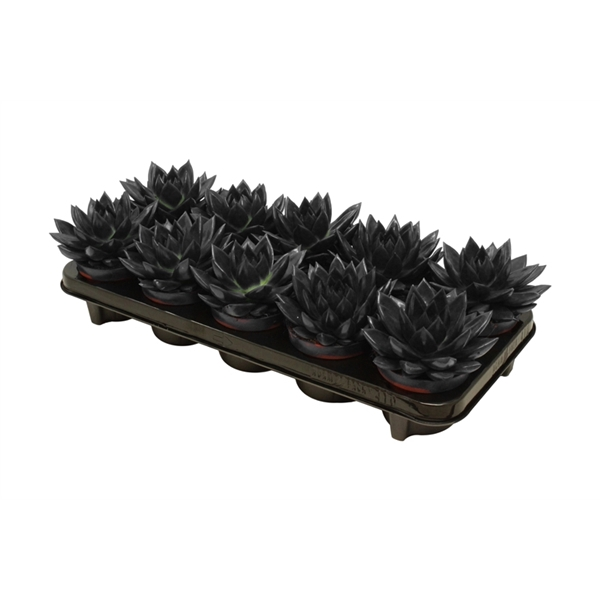 <h4>Echeveria coloured black</h4>