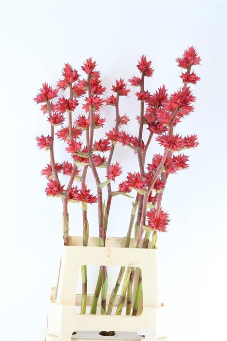 <h4>Hohenbergia Stellata 70cm</h4>
