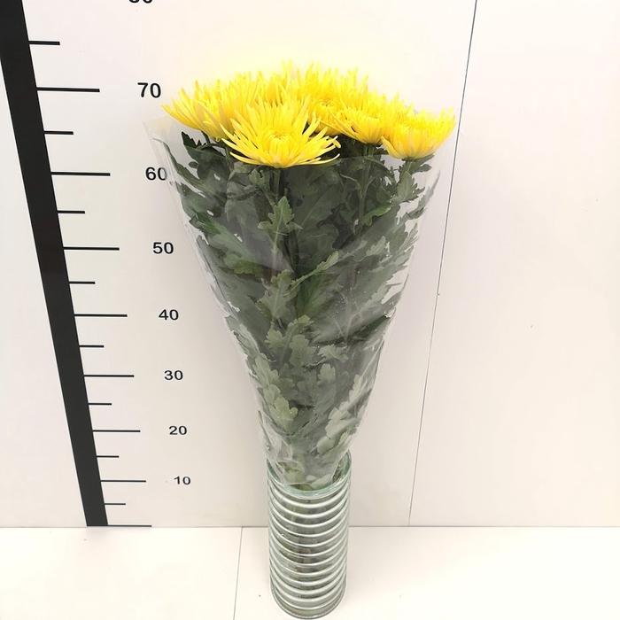 <h4>Chrysanthemum monoflor anastasia amarilla</h4>
