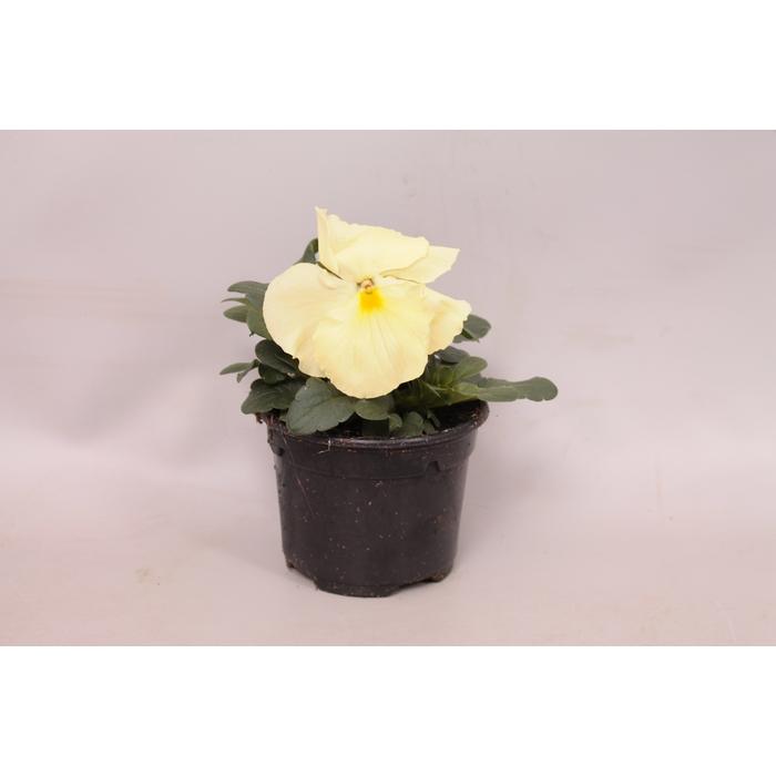 <h4>Viola wittrockiana F1 Pure Primrose</h4>