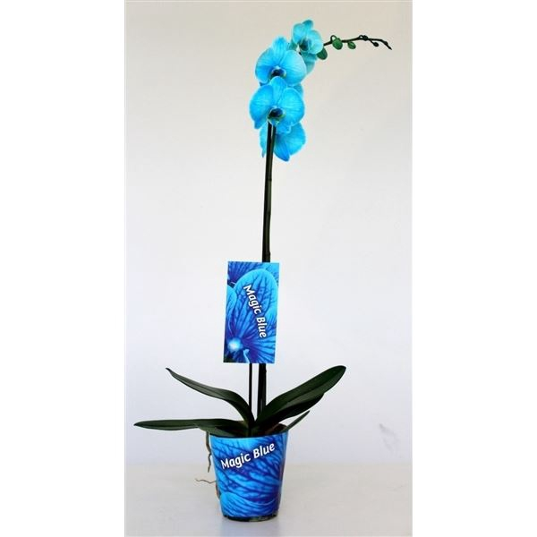 <h4>Phalaenopsis overig</h4>