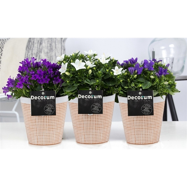 <h4>Campanula Mix Decorum Terra Cotta</h4>