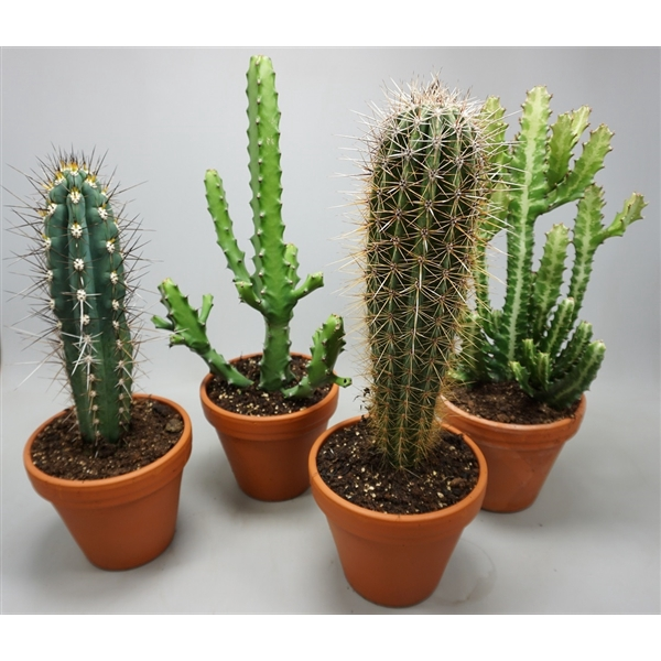 <h4>Cactus gemengd Opgaande soorten hoogte 45-70 cm</h4>