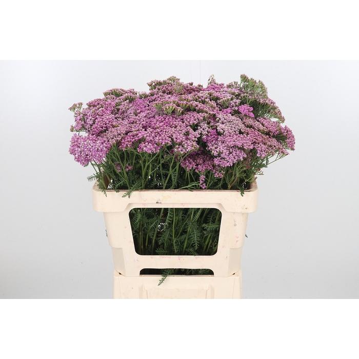 <h4>Achillea M Master Lilac</h4>