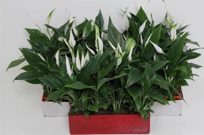 <h4>Arrangement Spathiphyllum #</h4>