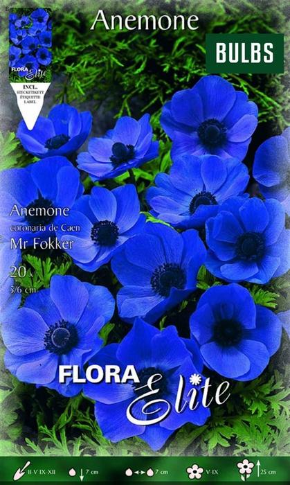 <h4>Z Anemone De Caen Mr.fokker</h4>