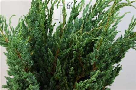 <h4>Conifeer Zak Juniperus Meyeri</h4>