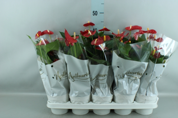 <h4>Anthurium andr. 'Red Champion'</h4>