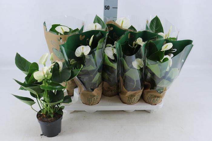 <h4>Anthurium andr. Sierra White</h4>