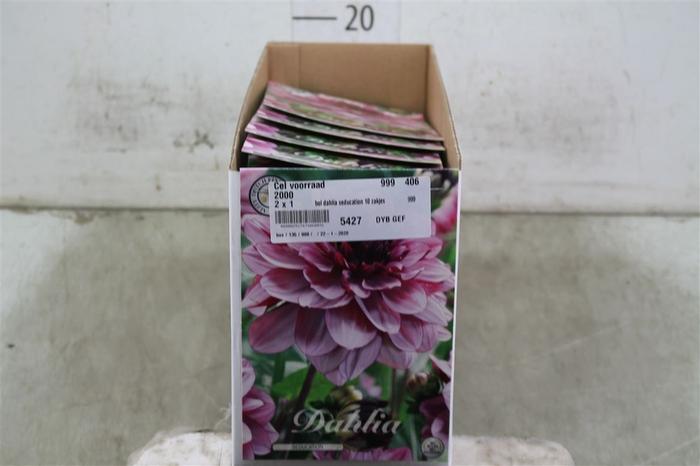 <h4>Bol Dahlia Seducation 10 Zakjes X1</h4>