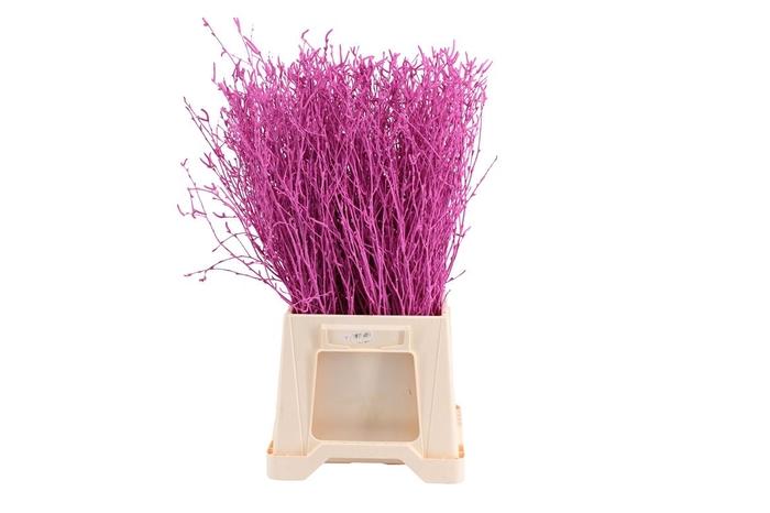 <h4>Berk ( Birch ) Lilac</h4>