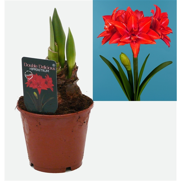 <h4>Hippeastrum Double Delicious</h4>