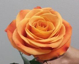 <h4>R Gr Nexus Orange 50cm EC</h4>