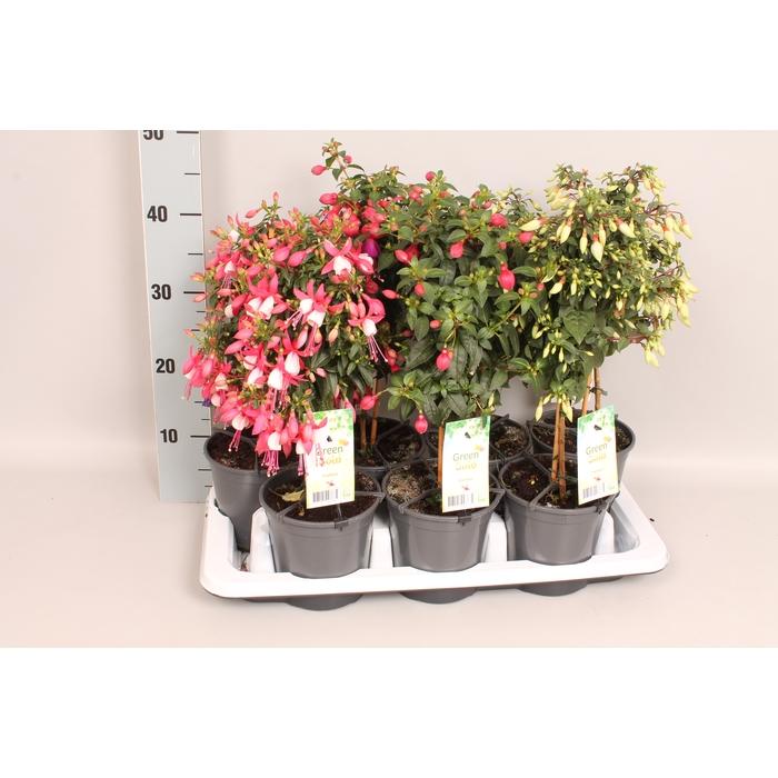 <h4>Fuchsia mix in tray, 14 cm op stam</h4>