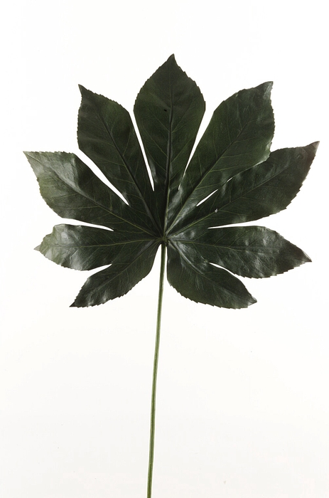 <h4>SILK FATSIA LEAF 55CM DK GREEN 50.029</h4>